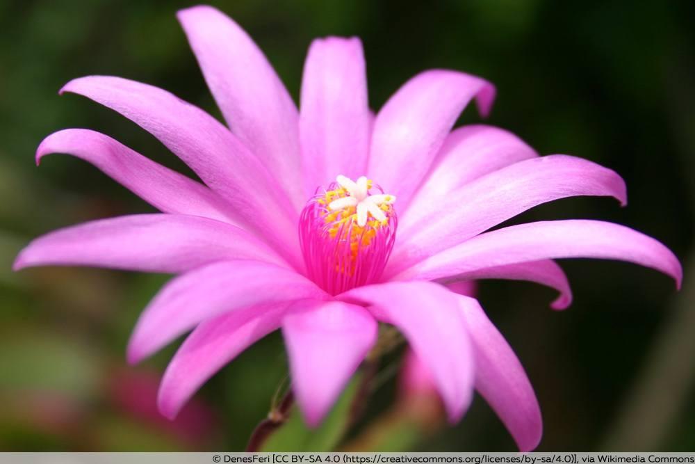 Blüte des Osterkaktus