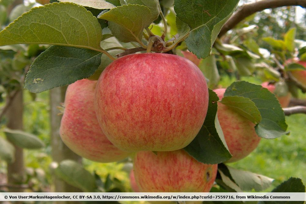 Apfelsorte 'Piros'