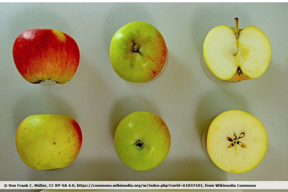 Apfelsorte 'Alkmene'