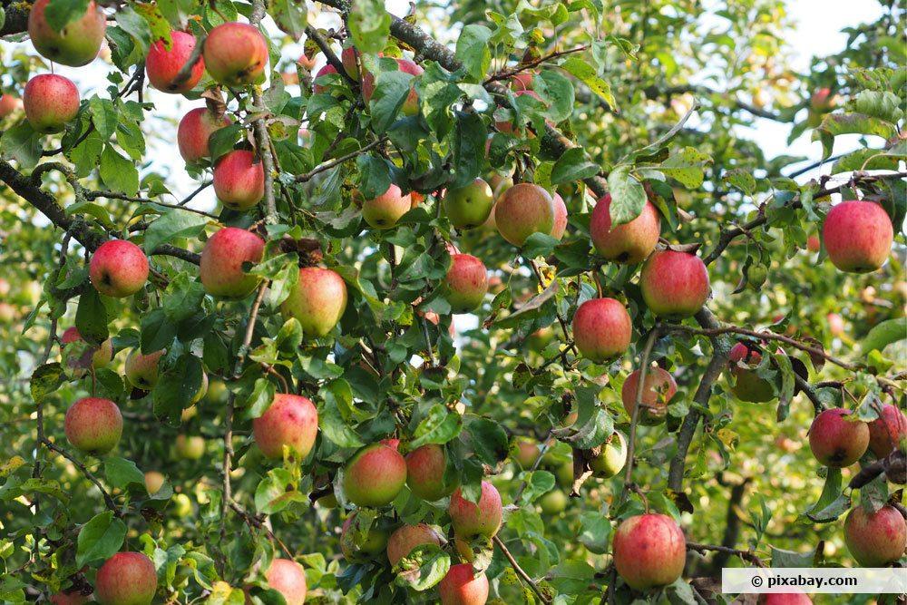 Apfelsorte 'Gala'