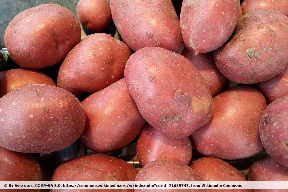 Kartoffel 'Laura'