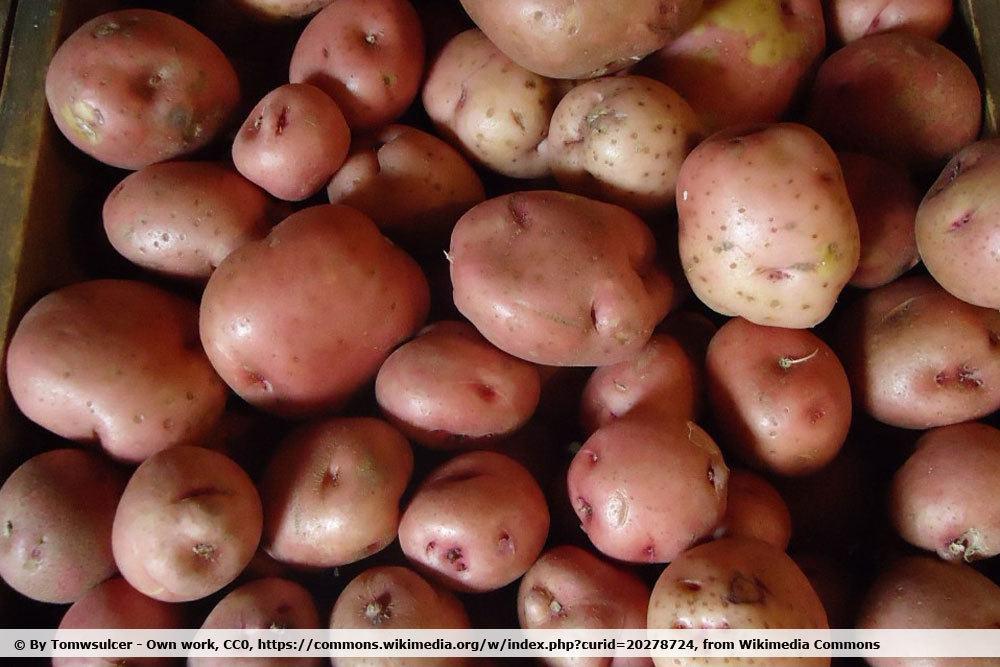 Kartoffel 'Kerr´s Pink'