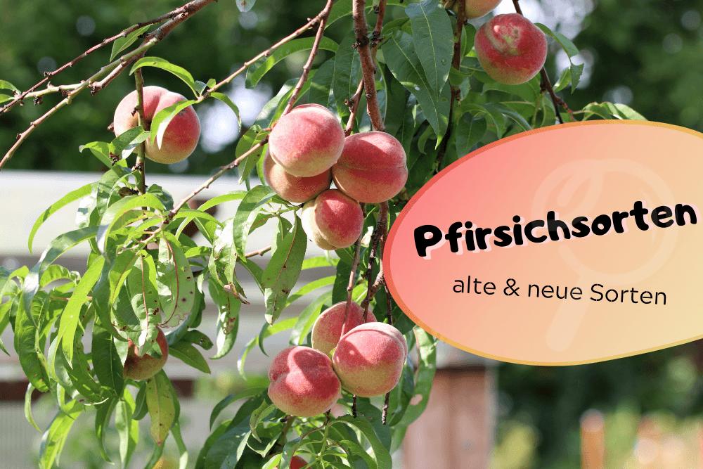 Pfirsichsorten