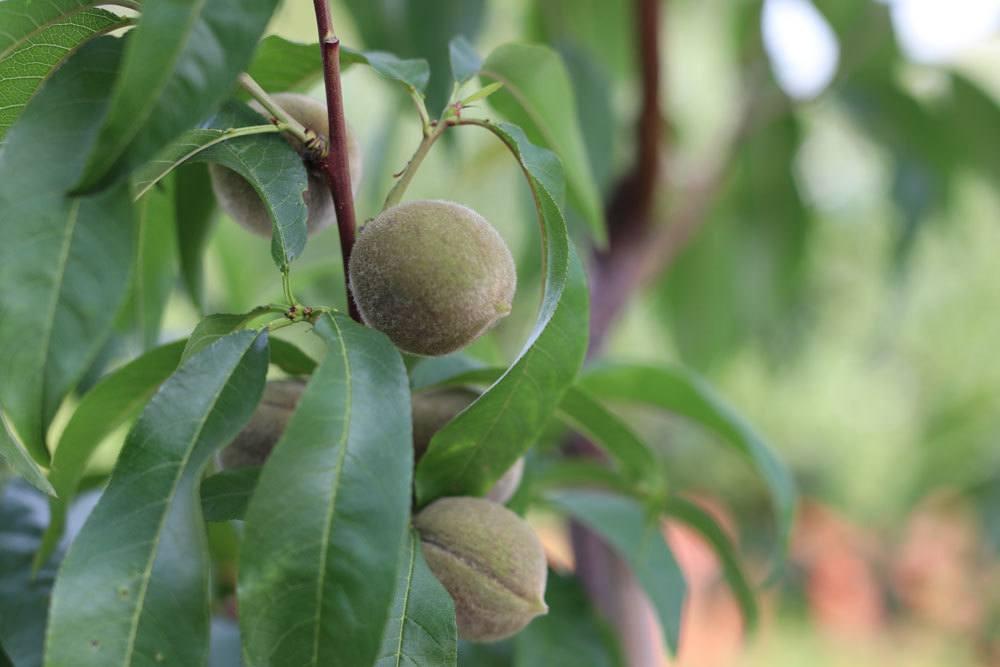 Poysdorfer Weingartenpfirsich, Prunus Persica