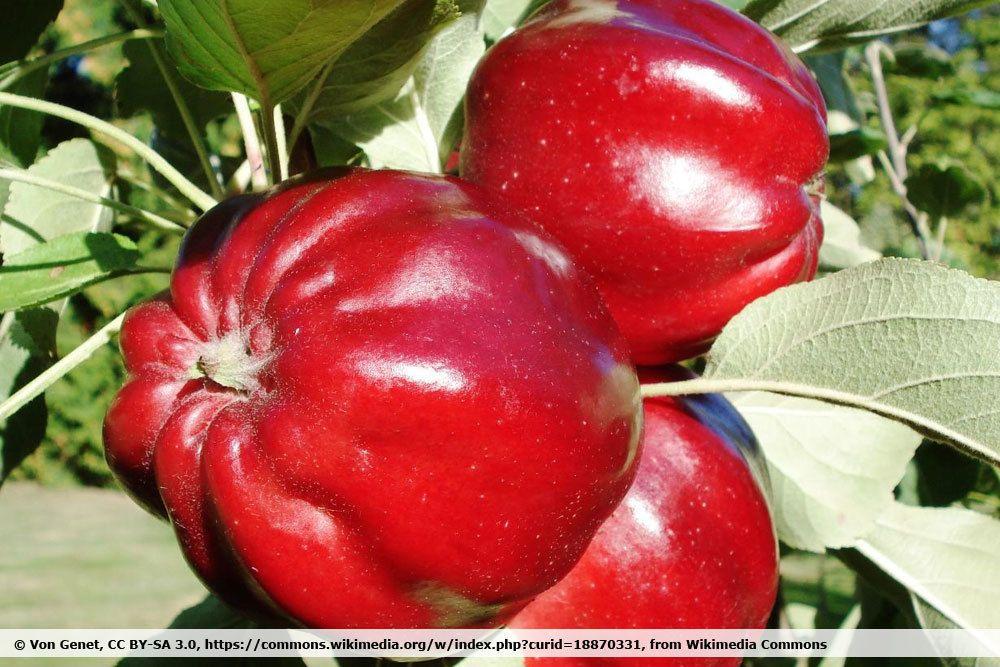 Apfel 'Roter Herbstkalvill'