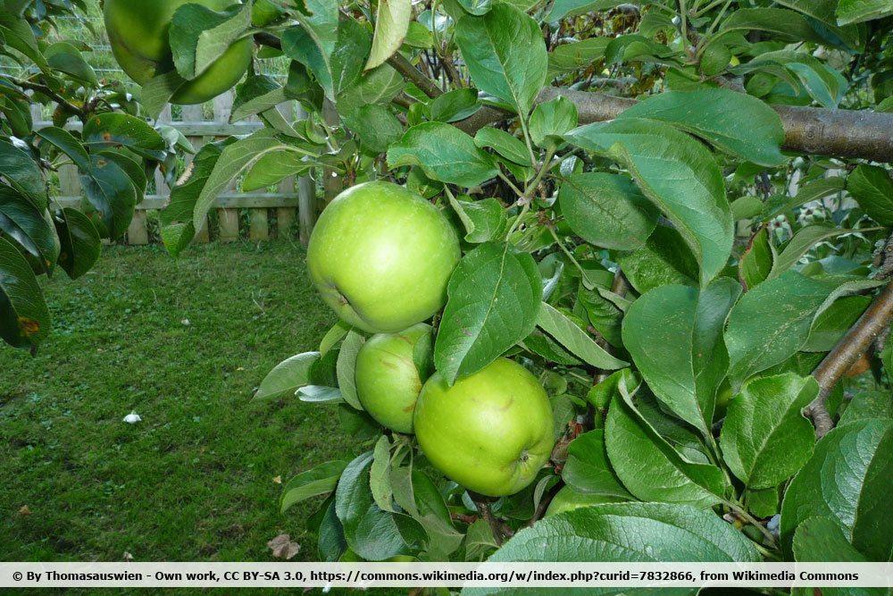 'Seestermüher Zitronenapfel'