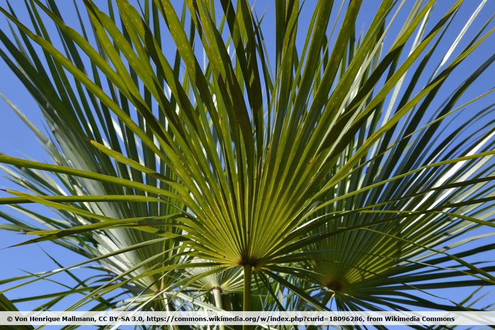 Blaue Nadelpalme, Trithrinax brasiliensis