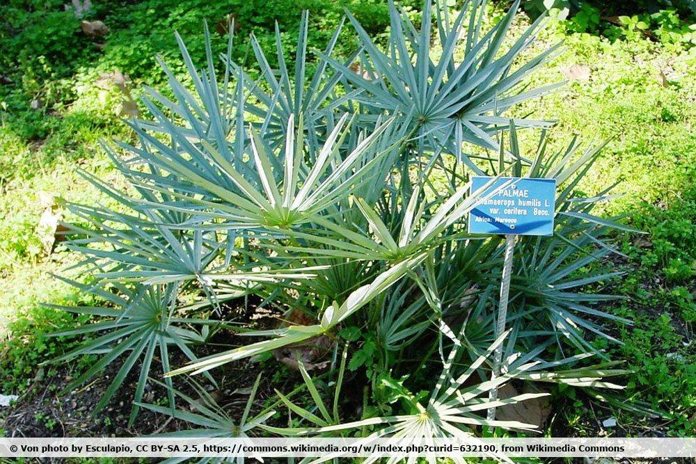 Blaue Zwergpalme, Chamaerops humilis var. cerifera