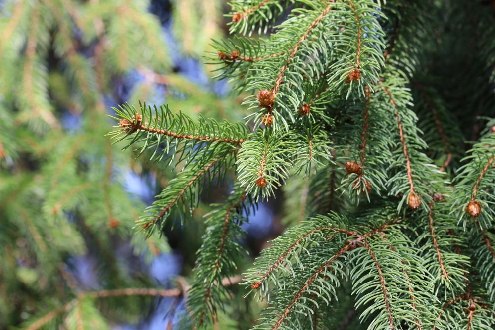 Gemeine Fichte - Picea Abies