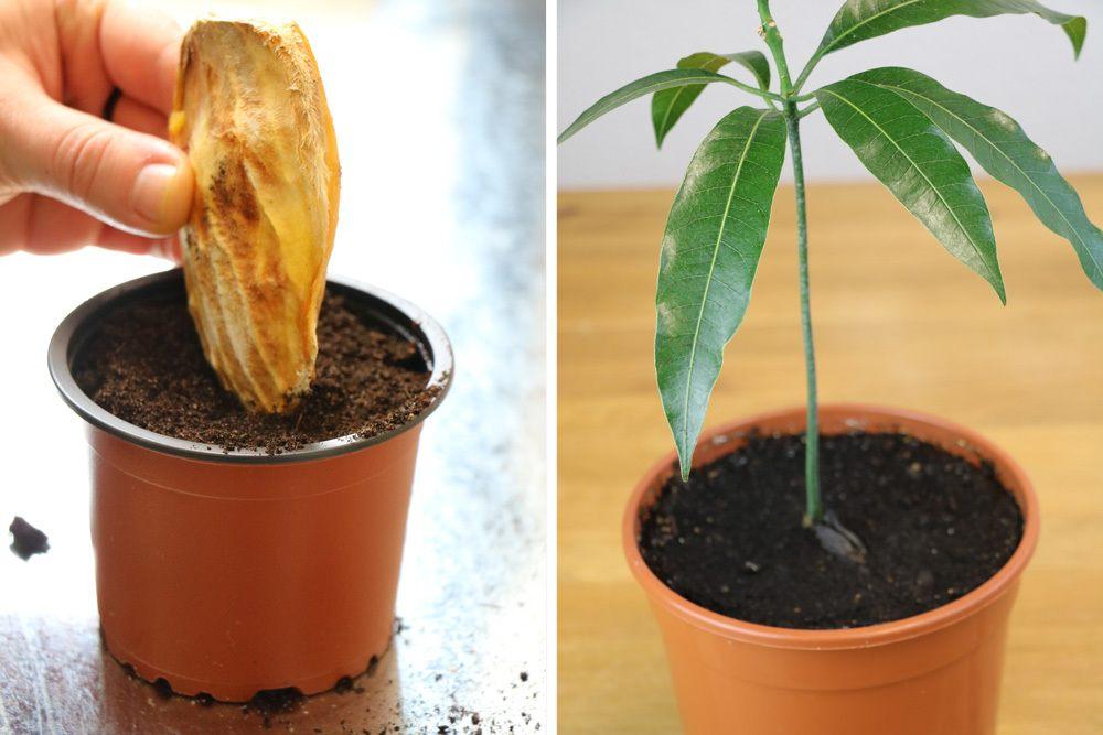 Mango Kernobst