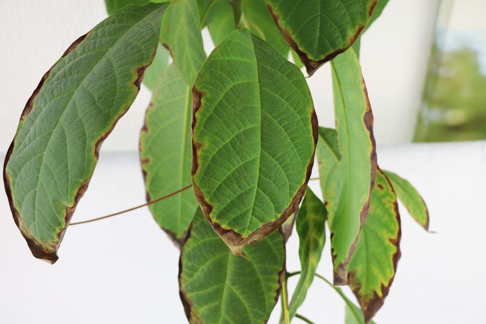 Mangobaum braune Blätter