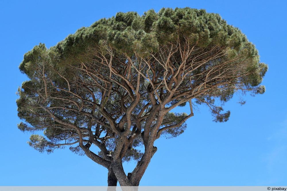 Pinienbaum