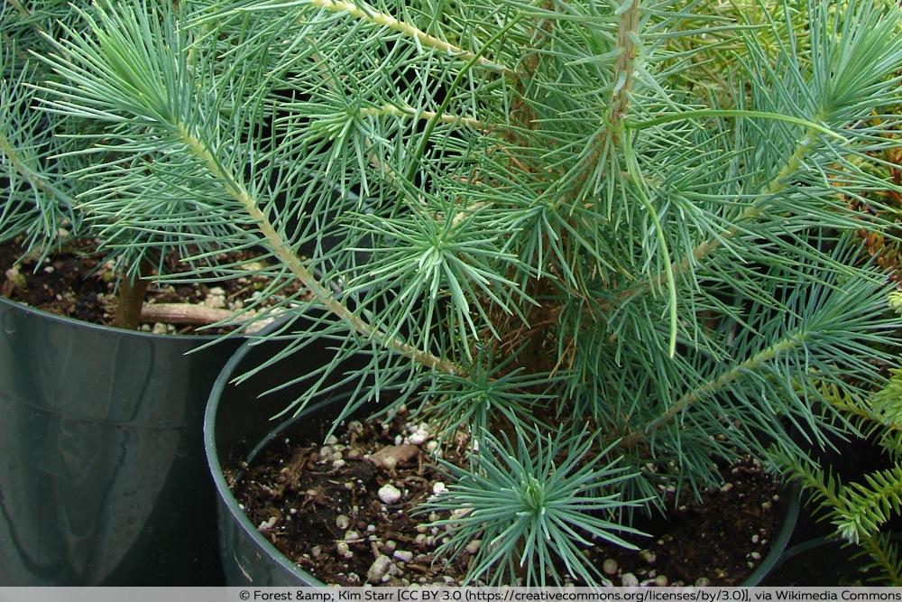 Pinienbaum im Kübel