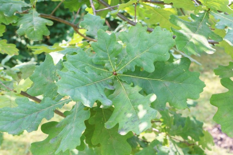 Stieleiche - Quercus robur - Eiche