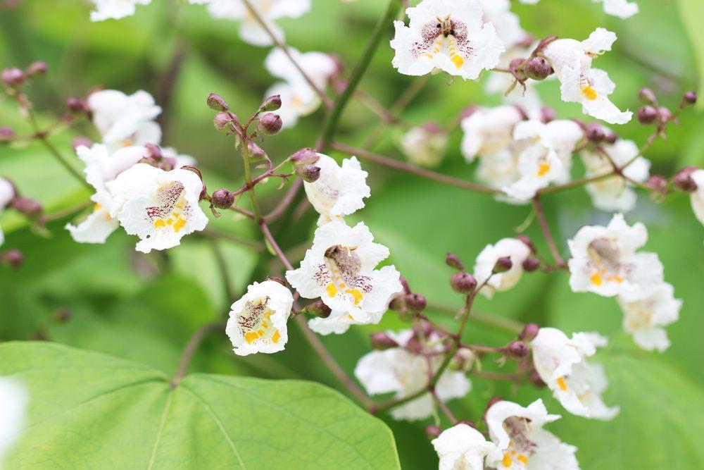 Blüten des Catalpa