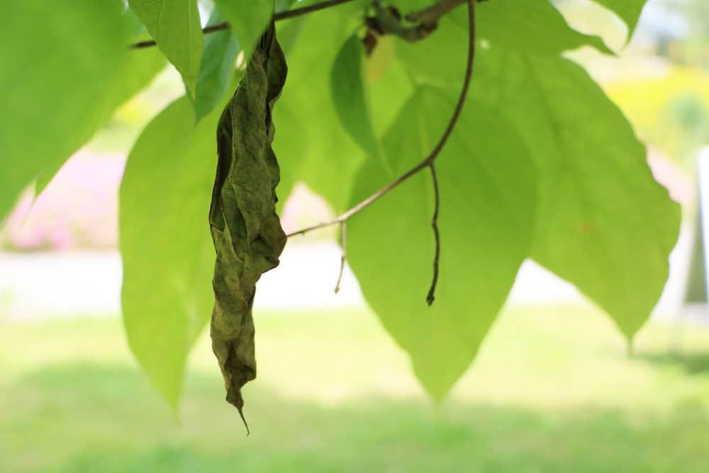 Welkes Blatt an Bohnenbaum