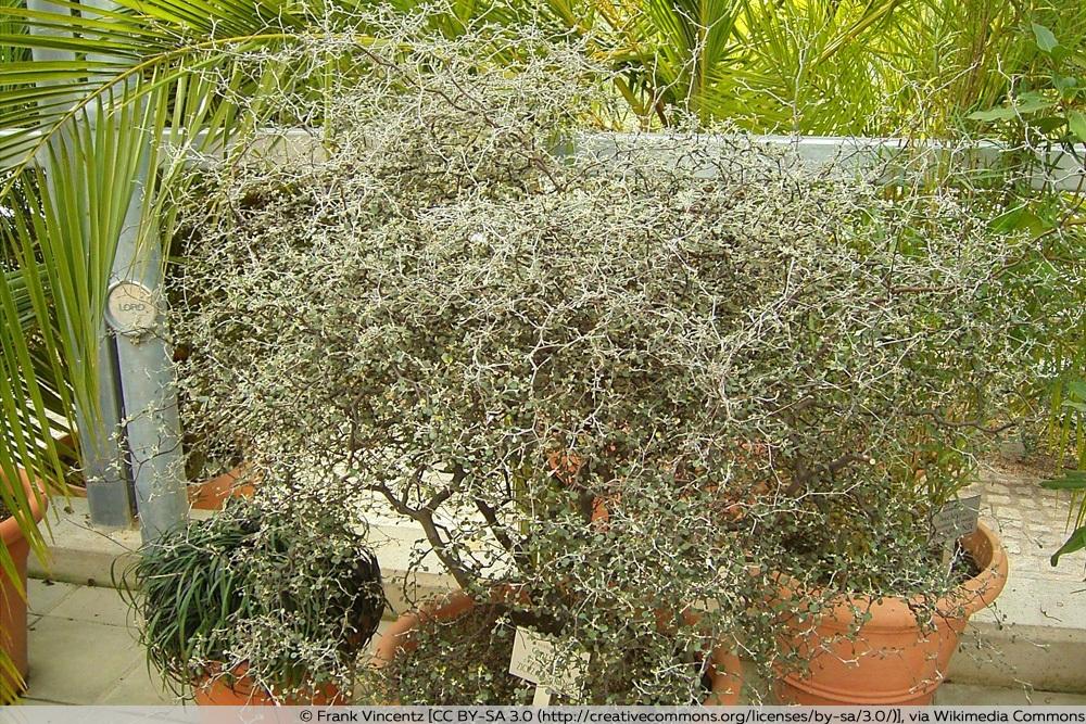 Corokia cotoneaster im Kübel