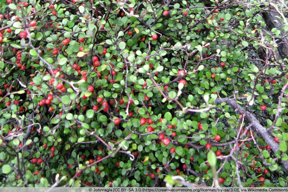 Früchte des Zickzackstrauchs