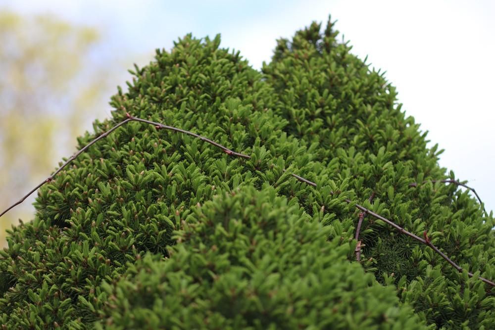 Zuckerhutfichte - Picea glauca