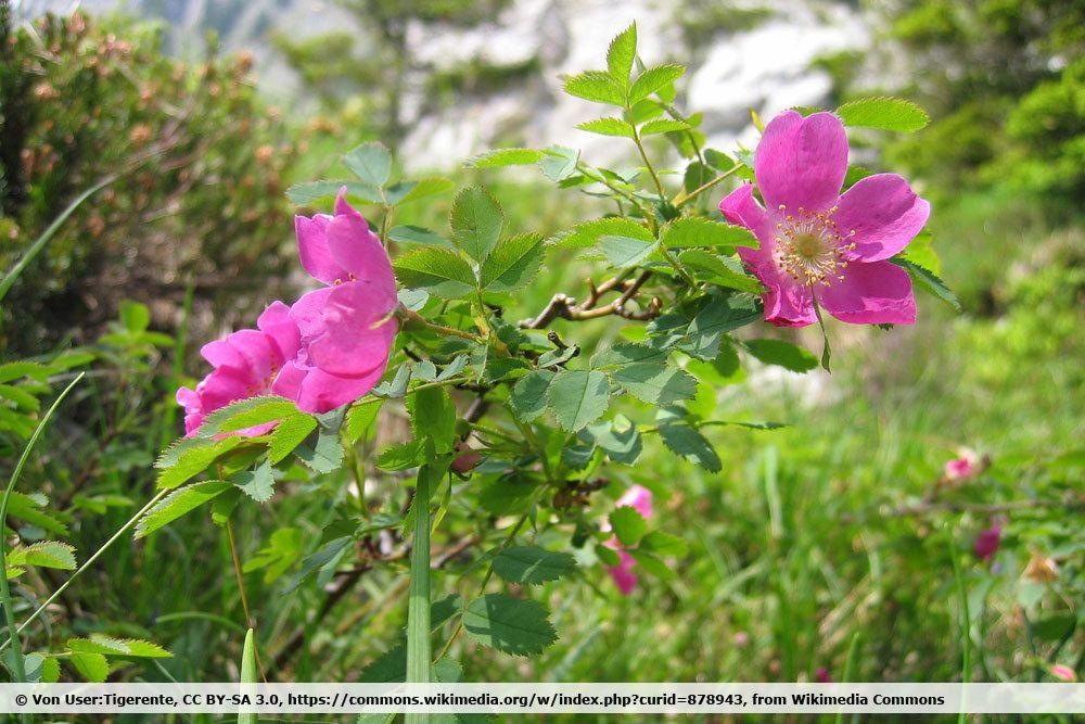 Alpen Heckenrose, Rosa pendulina