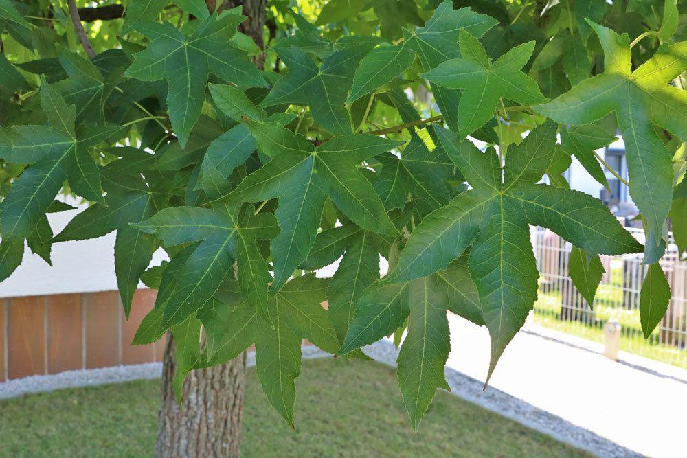 Amberbaum, liquidambar styraciflua