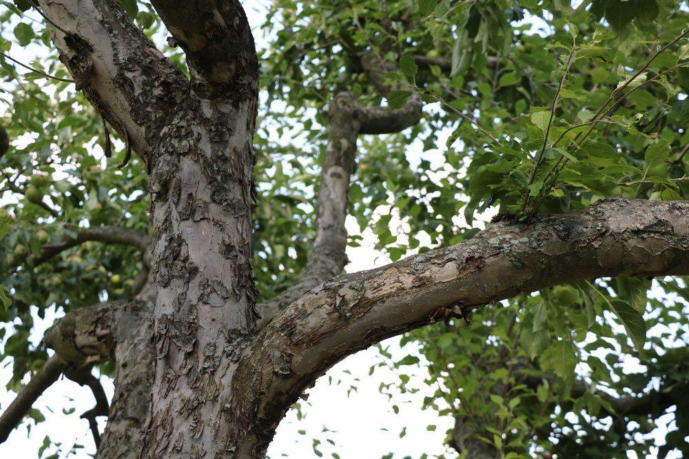 alten Apfelbaum schneiden