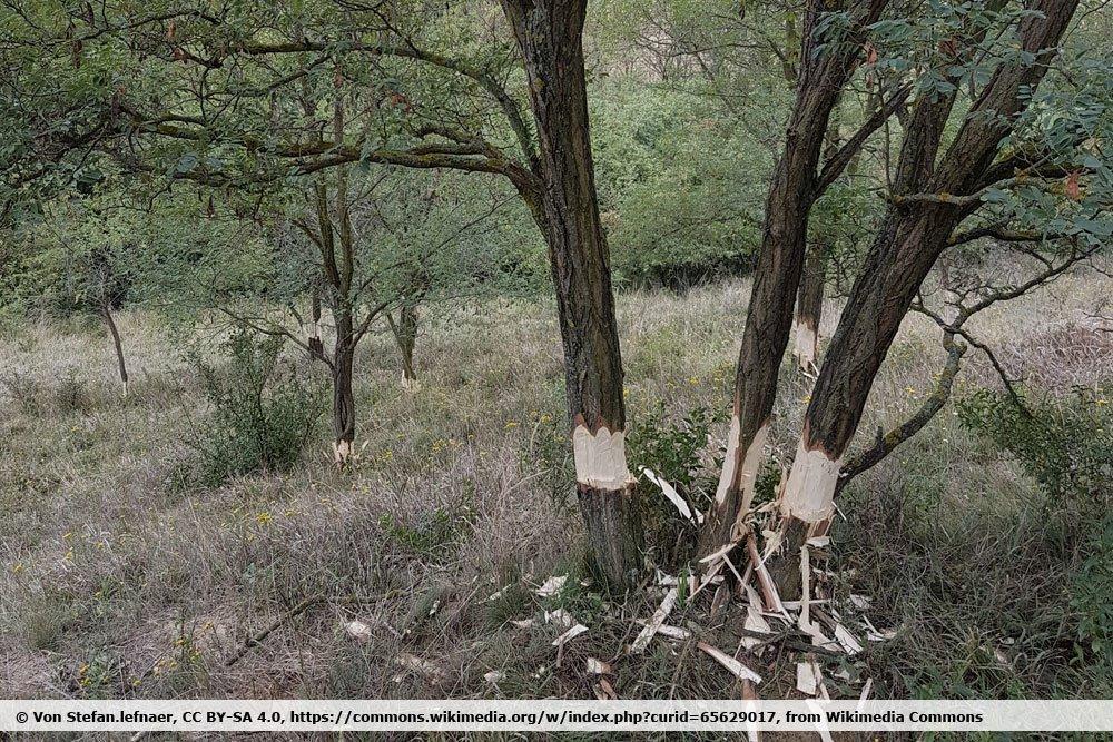 geringelte Bäume