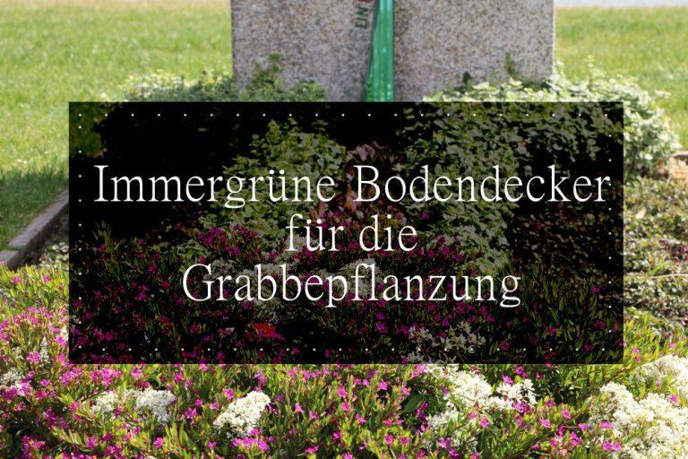 Bodendecker für das Grab