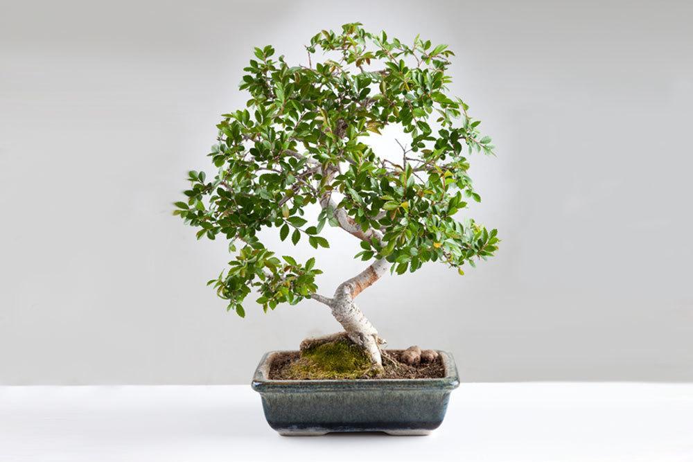 Chinesische Ulme als Bonsai