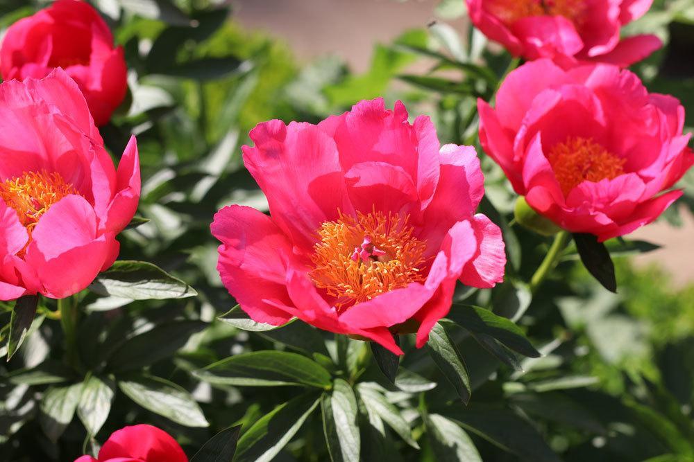 Edel-Pfingstrosen, Paeonia lactiflora