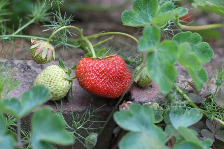 Mischkultur bei Erdbeeren