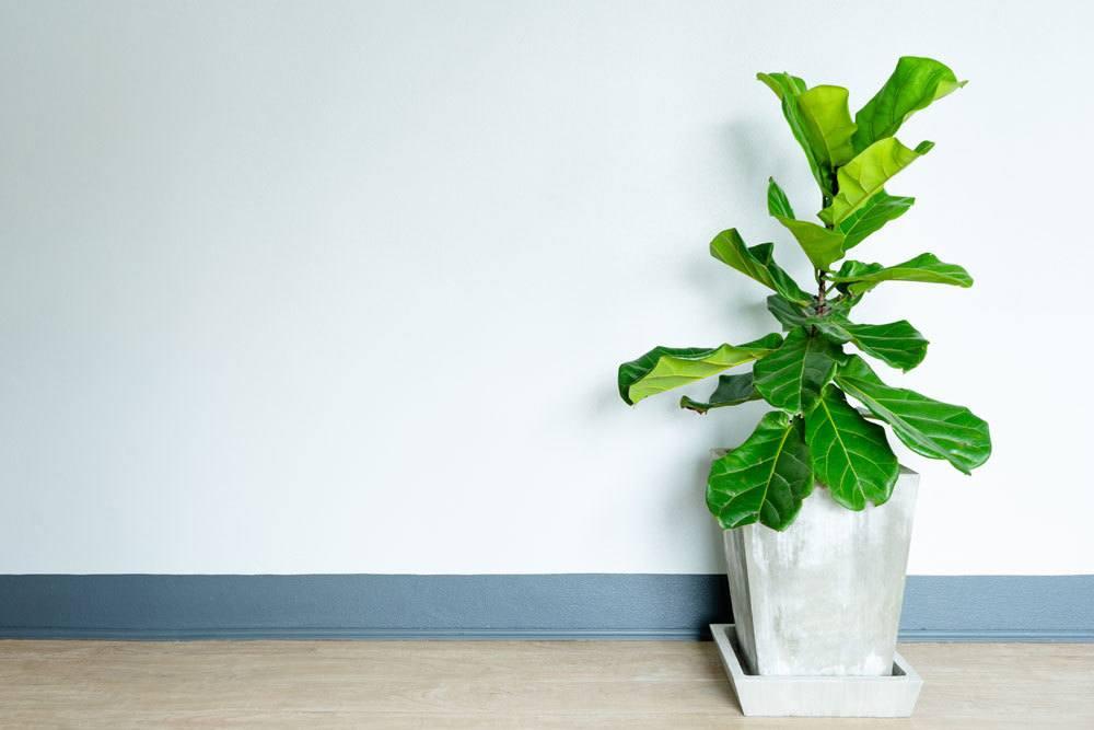 Ficus lyrata ist eine XXL Zimmerpflanze