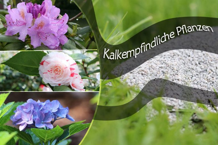 kalkempfindliche Pflanzen