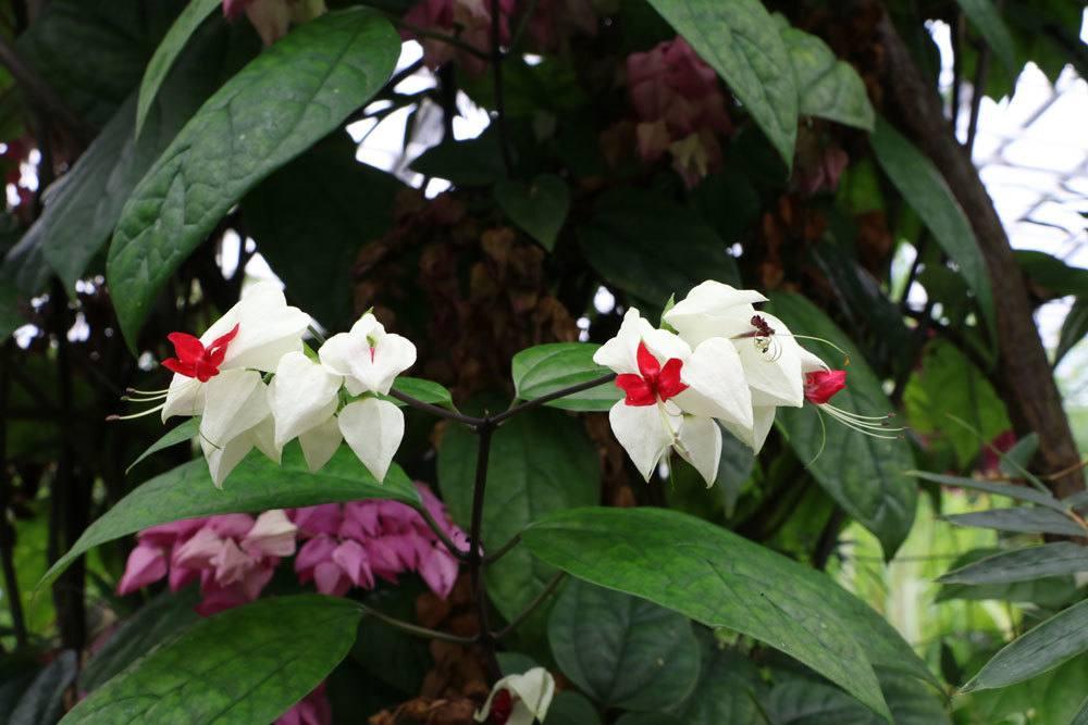 Losbaum,. Clerodendrum thomsoniae als Kletterpflanze auf dem Balkon