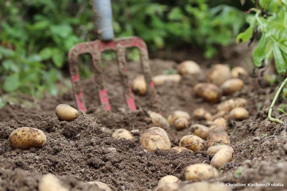 Mischkultur bei Kartoffeln
