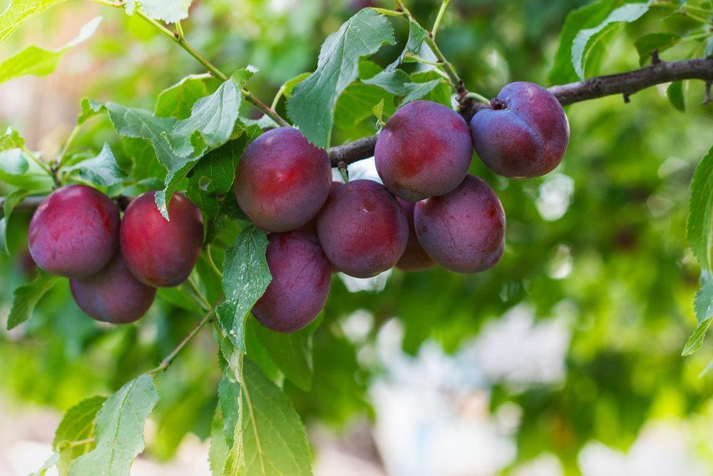 Pflaume, Prunus domestica