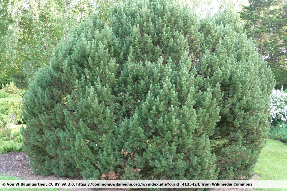 Kugel Kiefer, Pinus mugo 'Mops'