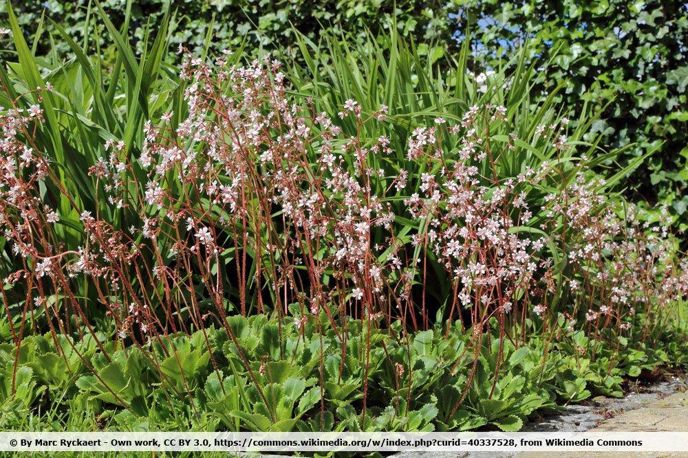 Porzellanblümchen, Saxifraga urbium als Bepflanzung für das Grab
