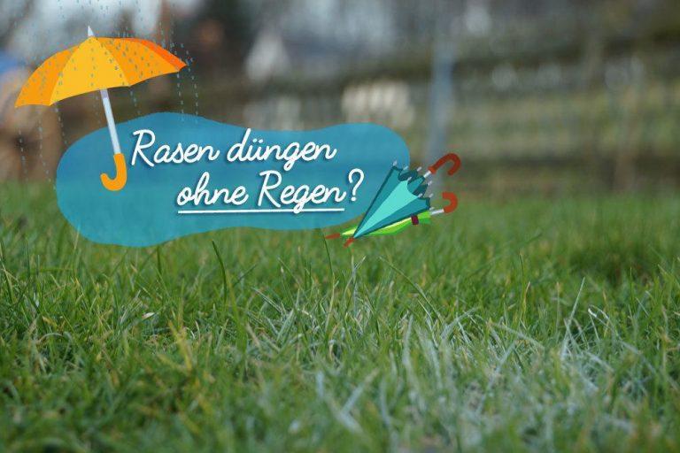 Rasen düngen ohne Regen