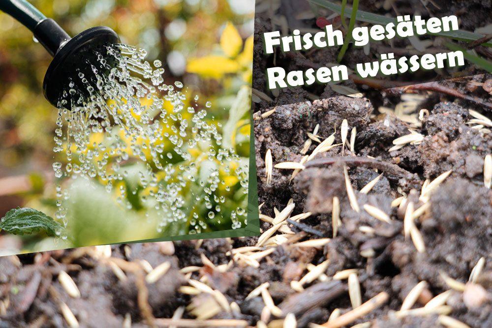 Rasensamen gießen