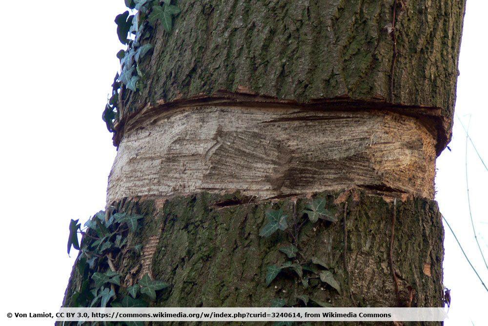 Baum töten durch Ringeln