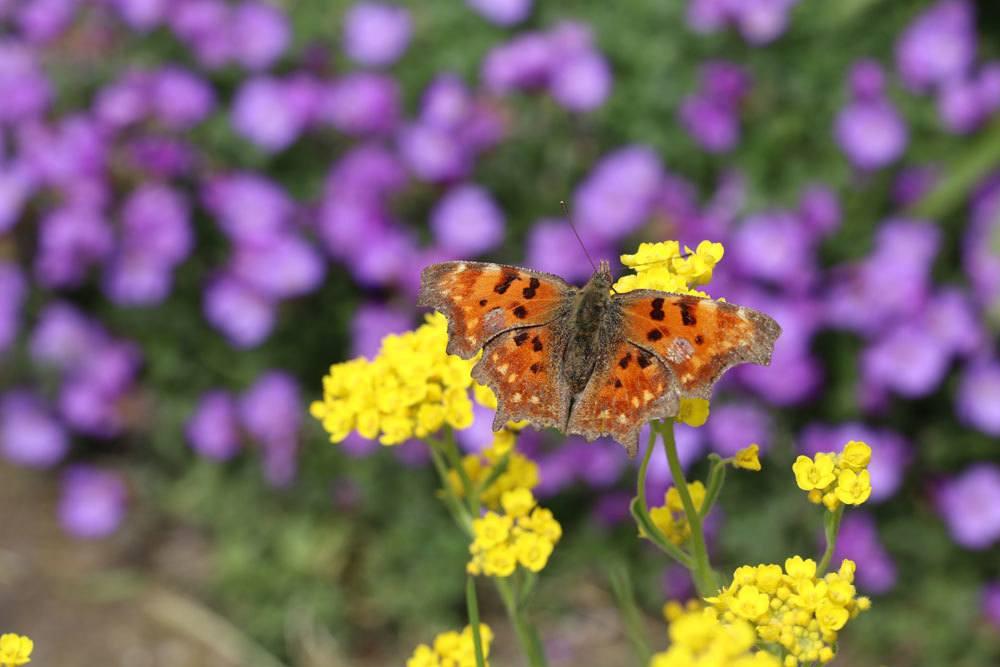 Schmetterling, C-Falter