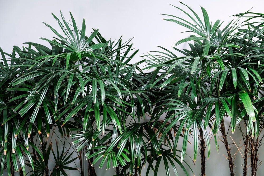 Steckenpalme, Rhapis Excelsa, pflegeleichte Grünpflanze