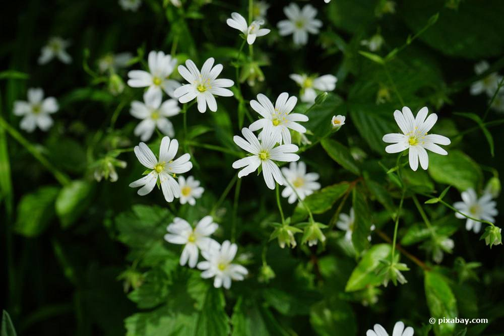 Sternmiere, Stellaria als Grabbepflanzung