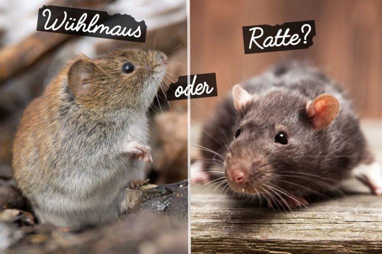 Wühlmaus oder Ratte?