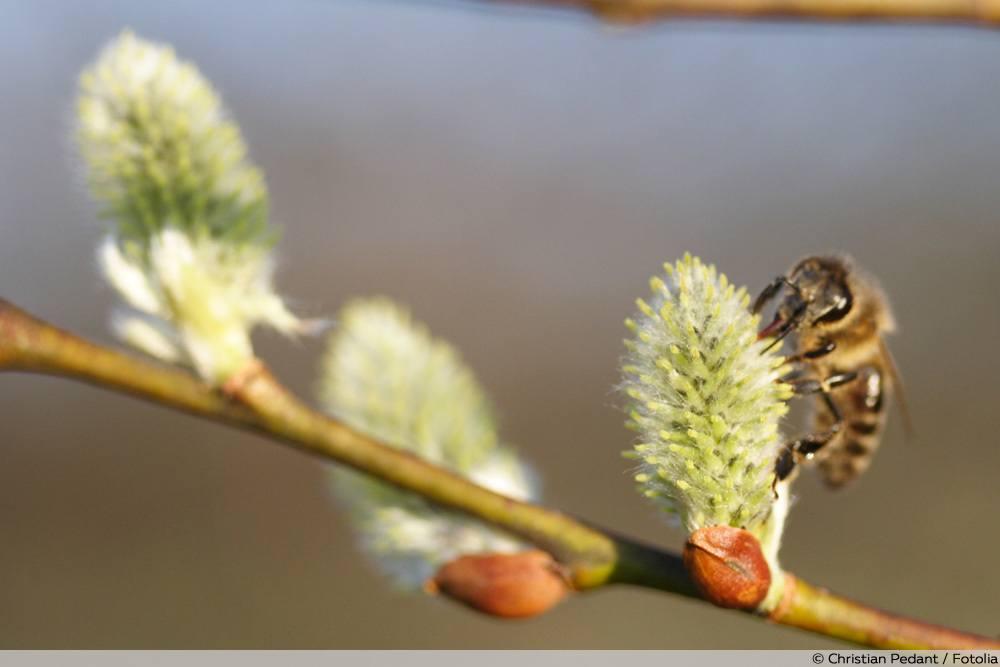 Biene an Palmkätzchen