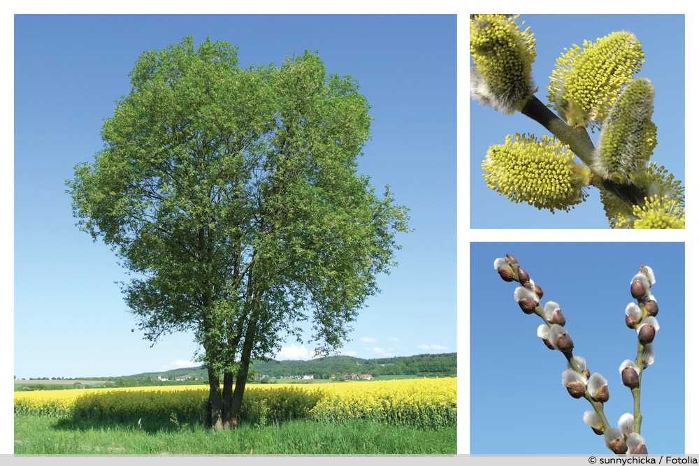 Salweide - Salix caprea - Collage