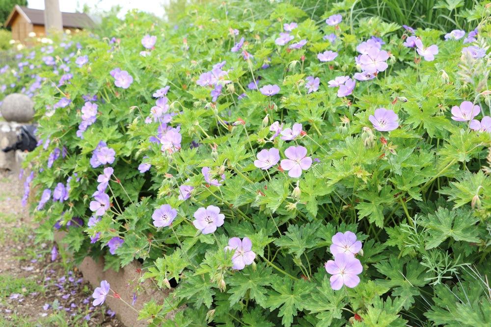 Storchenschnabel - Geranium im Staudenbeet