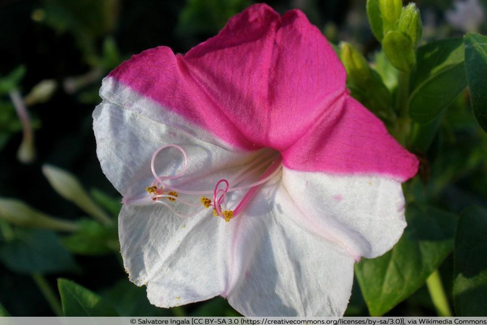 Wunderblumen-Hybride