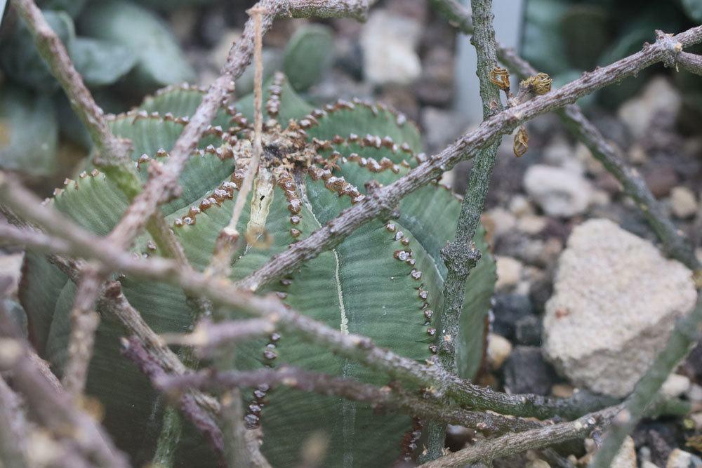 Baseball Wolfsmilch, Euphorbia obesa